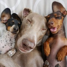cute-dogs-sleep-together-best-friends-harlow-sage-indiana-reese-44