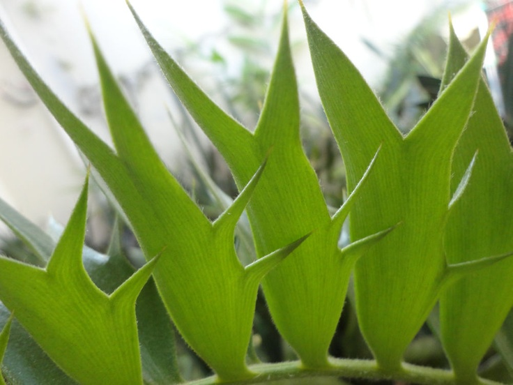 Encephalartos latifrons 'Trapps Valley'