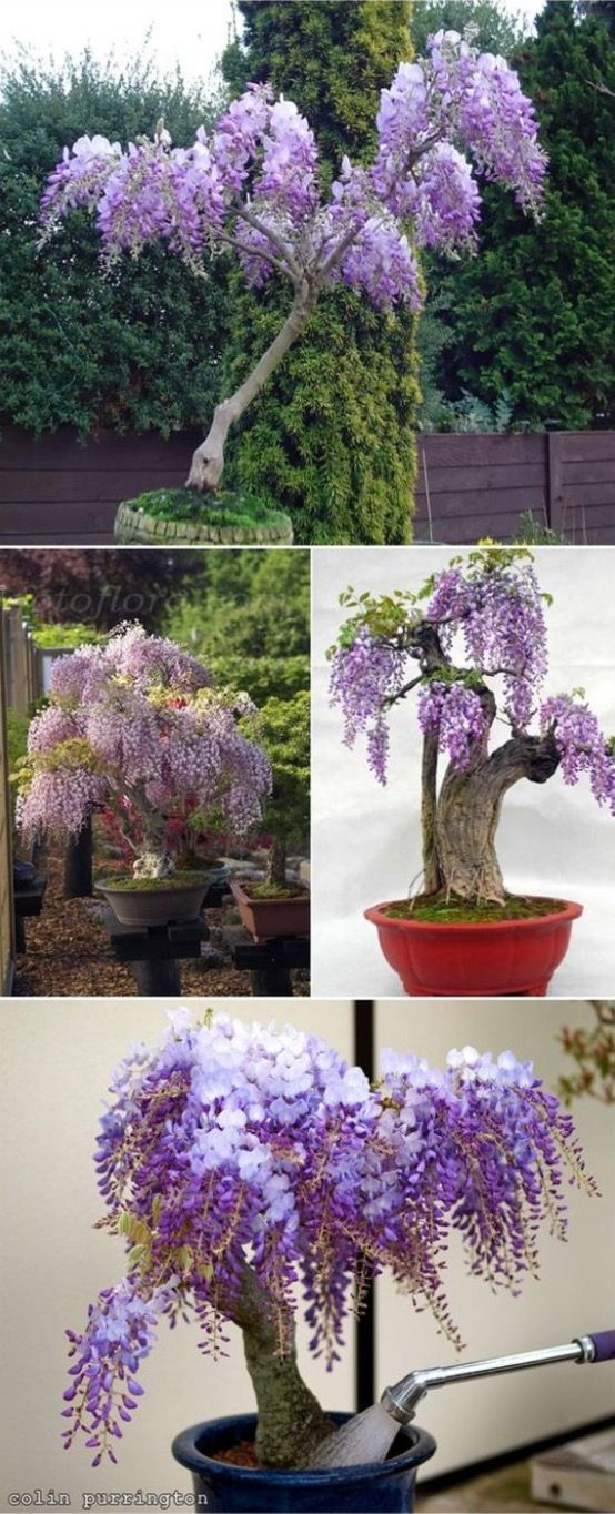Grow Wisteria In A Pot Watch The Easy Video Tutorial