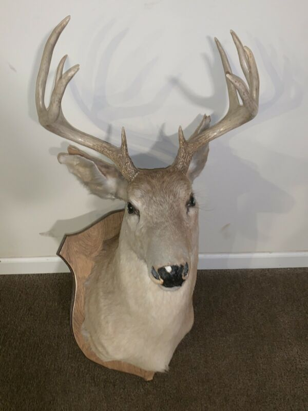 How Much Is It To Get A Deer Head Taxidermy