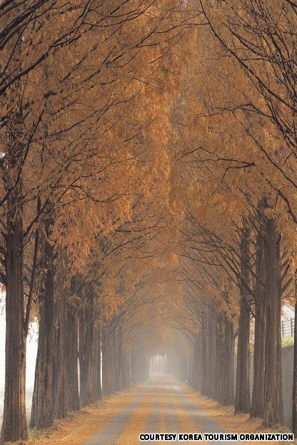 Autumn in Metasequoia Road, Nami Island, South Korea.. October can't come soon enough.