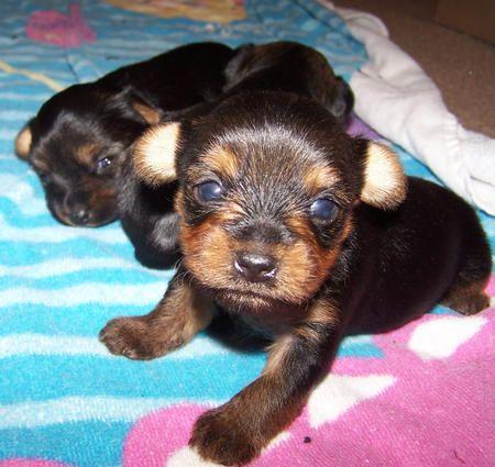 wee yorkshire terrier pups: Yorkshire Terrier