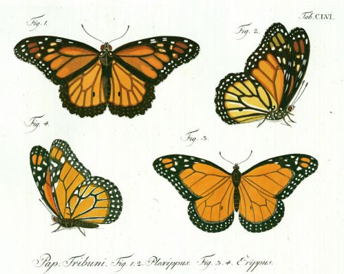 21 best Drawings - Monarch Butterfly images on Pinterest ...