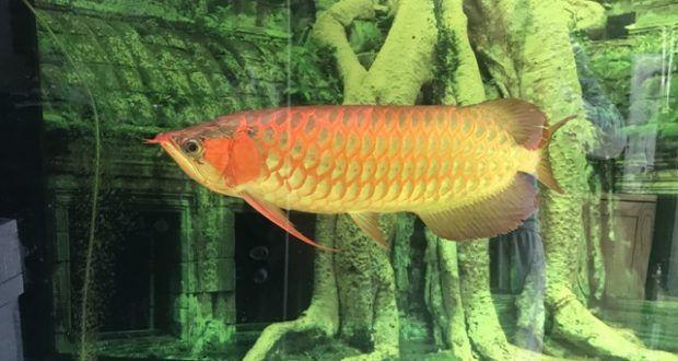 Cá rồng Huyết Long 60cm tại cá cảnh Thái Hoà - Cá cảnh | Bể cá cảnh Thái Hòa