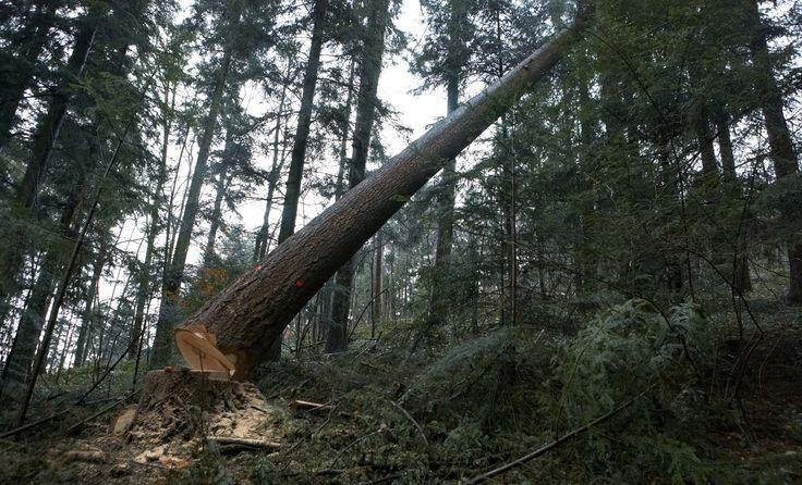 60 meters tall Douglas Fir being cut down