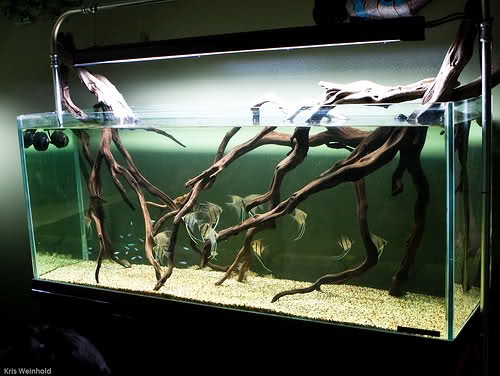 Roots and angelfish aquascape pinterest the o 39 jays for Aquarium wood decoration