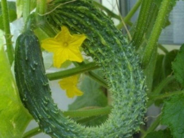きゅうりの育て方 サボテン ベランダ菜園 家庭菜園