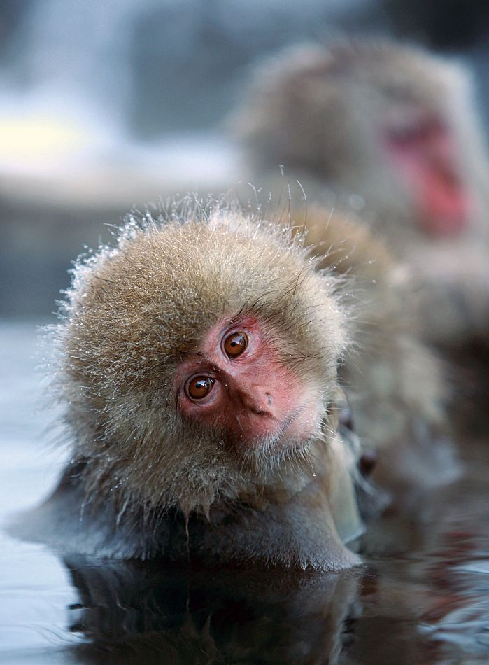 Wild snow monkeys taking a hot spring during winter, Jigokudani, Nagano, Japan