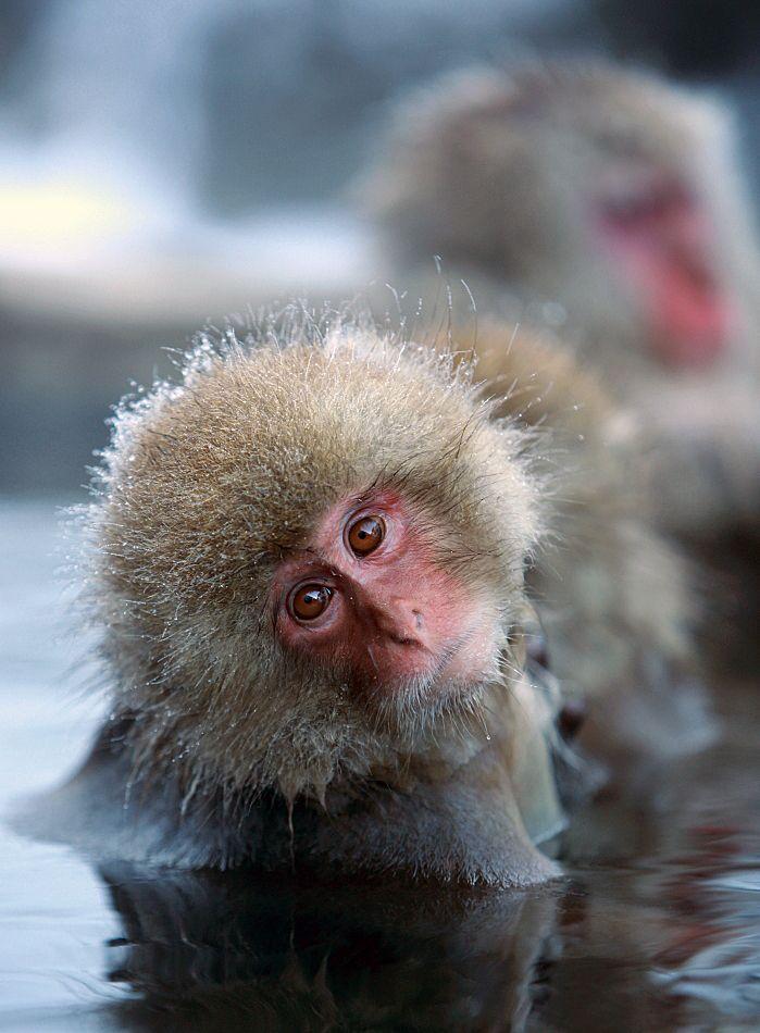 Wild snow monkeys taking a hot spring during winter, Jigokudani, Nagano, Japan