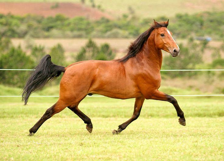 O puro-sangue lusitano é uma raça de cavalos com origem em Portugal. É o cavalo de sela mais antigo do Mundo, sendo montado aproximadamente há mais de cinco mil anos.
