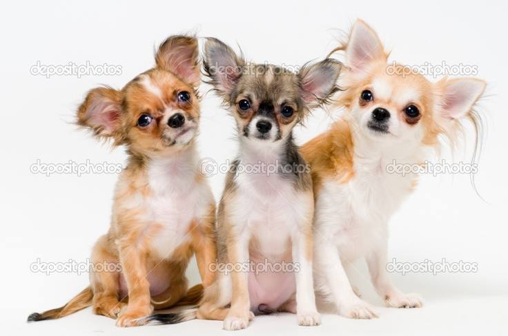 Three dogs of breed chihuahua