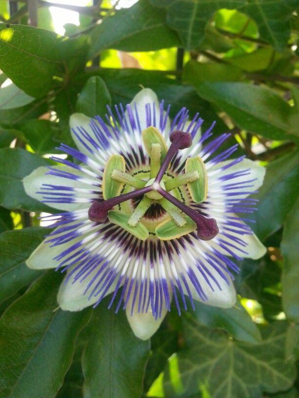 Passion flower in the back yard