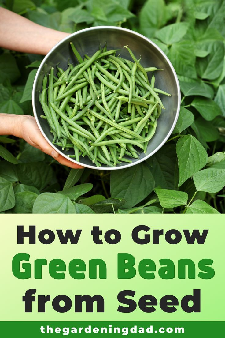 7 Easy Tips Growing Green Beans From Seed The Gardening Dad Growing Green Beans Green Beans Growing Vegetables At Home