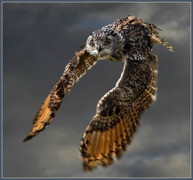 The Indian Eagle-Owl also called the Rock Eagle-Owl or Bengal Eagle-Owl (Bubo bengalensis) is a species of large horned owl found in the Indian Subcontinent.