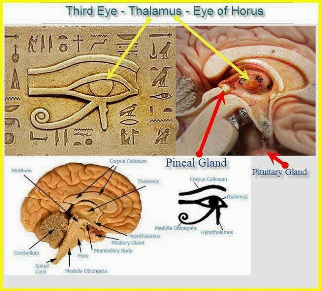 Third Eye - Thalamus - Eye of Horus