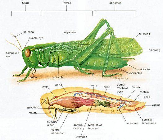 Grasshopper innards | Grasshoppers & Butterflies ...
