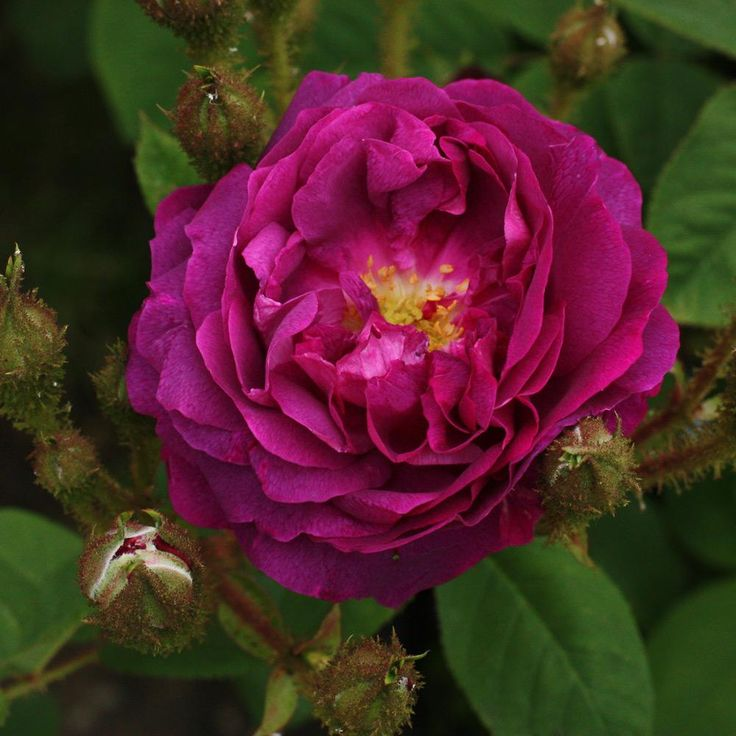 William Lobb Moss Rose