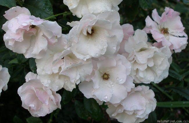 """Baby Tausendschon"" (aka ""Echo""). Polyantha. Peter Lambert (Germany, 1914).: Rose Growing, Baby Tausendschon, Gardens Rose"