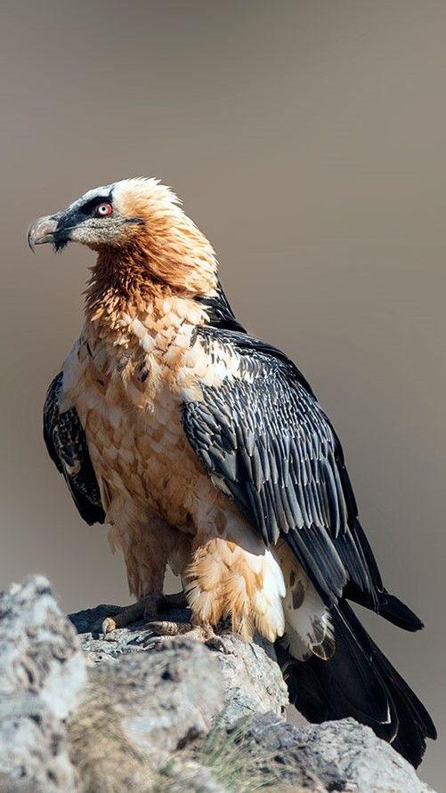 Quebrantahuesos Bearded Vulturelammergeier Bartgeier Gypaète