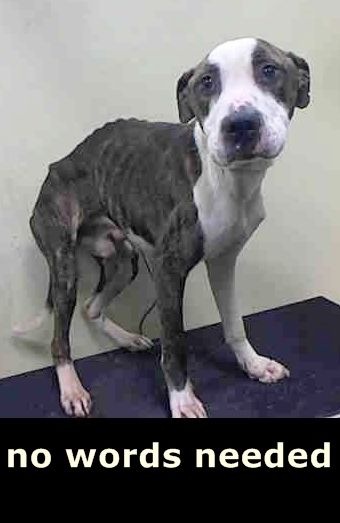 RILEY – A1038390  MALE, BR BRINDLE / WHITE, AM PIT BULL TER MIX, 1 yr STRAY – STRAY WAIT, HOLD FOR LEGAL Reason STRAY Intake condition EXAM REQ Intake Date 06/01/2015 http://nycdogs.urgentpodr.org/riley-a1038390/