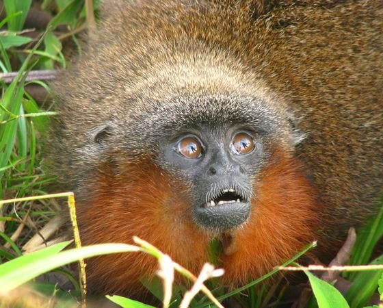 Caquetá titi (Callicebus caquetensis) - Em 2010, uma equipe de pesquisadores encontrou uma nova espécie de macaco: o Caquetá titi. Esse pequeno mamífero de barba ruiva foi localizado no sul da Colômbia, em meio à floresta amazônica. Segundo os cientistas, o animal corre risco de extinção, já que sua população é de cerca de 250 animais adultos.