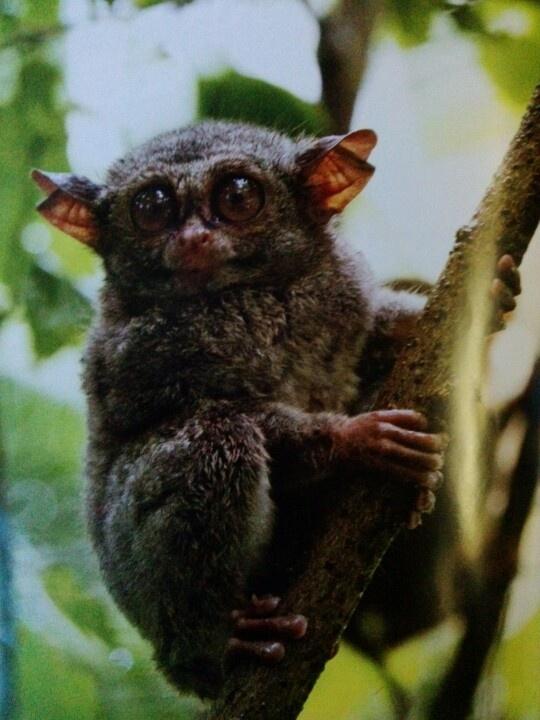 Tarcius Spectrum, the smallest primata in the world - Tangkoko,North Sulawesi