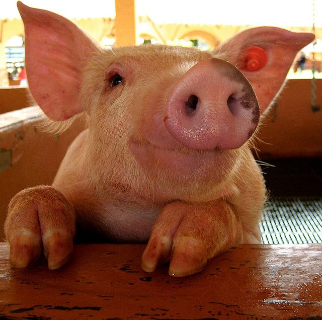 this little piggy is SMILING because it's national pig day and i am going to eat bacon today!