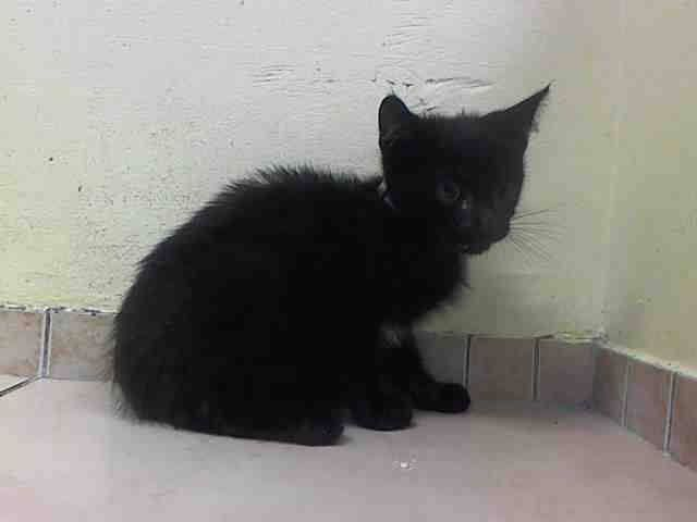 TO BE KILLED 9/22/14@ NOON NYC ACC My name is DAWN ID #A1014261.I'm a male. Did you notice that 11-week-old black & white kittens DAWN & DUSK have the EXACT SAME PHOTO? More ACC incompetence. They were brought into the shelter as STRAY babies, with no mama to comfort or protect them. These adorable twin boys earned very good behavior ratings & are eating well.both boys will breathe their last breaths at noon tomorrow, held down on a cold steel table, unless SOMEONE steps up for them now.