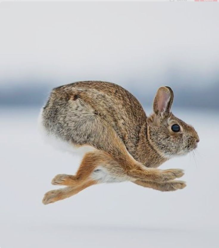 Cottontail rabbit at full speed. (Justin Russo)