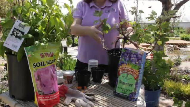 How to Grow White Hydrangeas