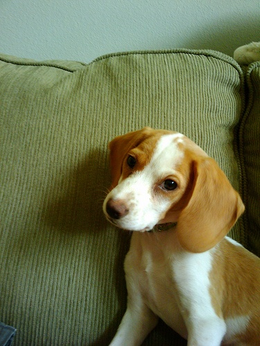 lovely lemon beagle- He looks like Jasper