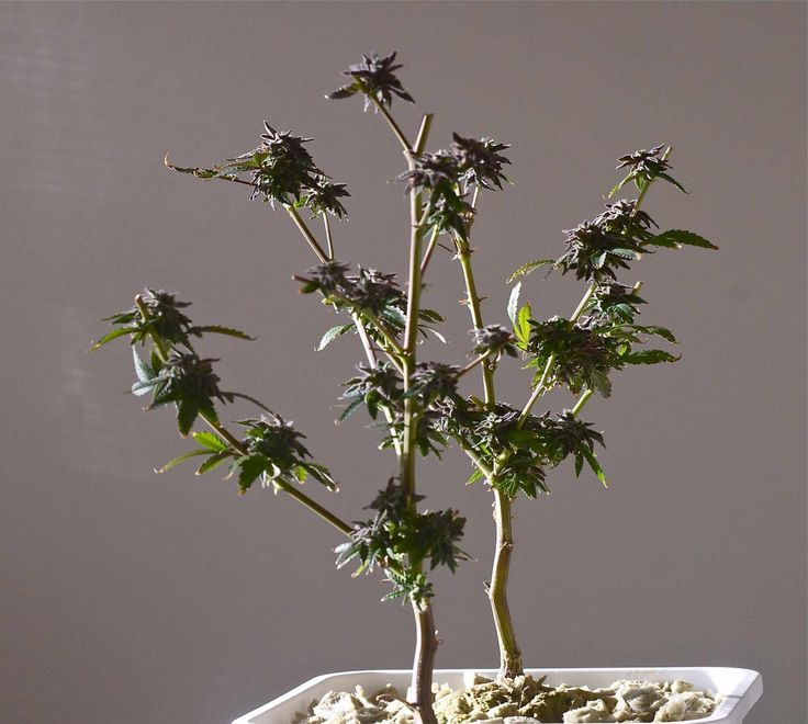 Re-vegging is a way to get more than one harvest from your most favorite marijuana plants. Read how to do re-vegging the right way, right now!