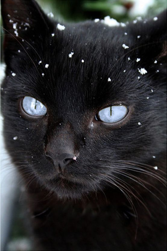Adorable blue eye black kitty in snow.