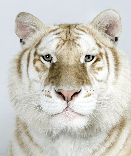Muktan, one of only 30 Golden Tabby Bengal Tigers left in world, photographed by Barry Bland and organized by The Institute of Greatly Endangered and Rare Species (T.I.G.E.R.S)