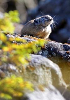秋空の下、岩の上で日差しを浴びるナキウサギ=北海道鹿追町で、梅田麻衣子撮影