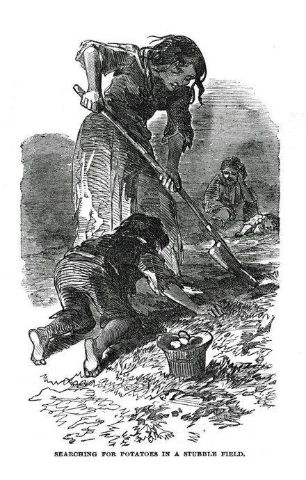 Ilustração. Procurando por batatas no restolho de um campo. Grande Fome Irlandesa (1845 - 1849).