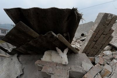 A pet rabbit sits among asbestos sheeting after a magnitude 7.0 earthquake hit Lushan, Sichuan Providence in China   News Republic