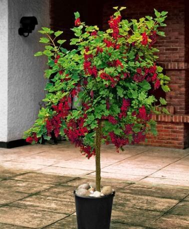 röda vinbär på stam
