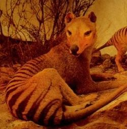 One day I will see a Tasmanian Tiger. I feel this in my bones. But that could just be the aches from camping out in the damp on the Trail of the Tasmanian Tiger