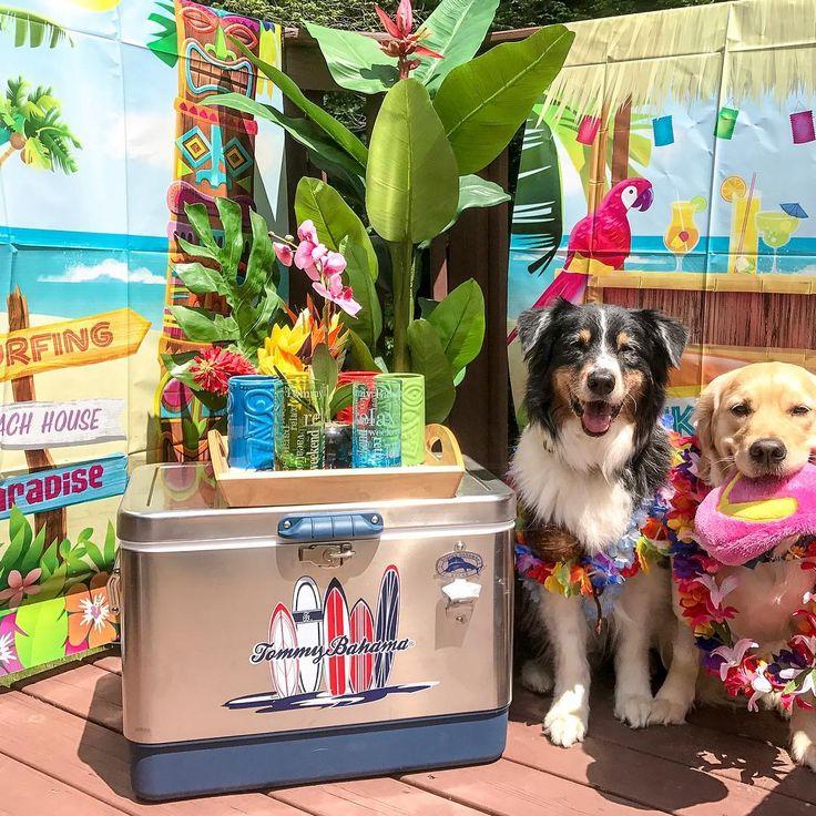 Aloha Friday! Maui the Golden Retriever and Friend Living the Tommy Bahama Island Life