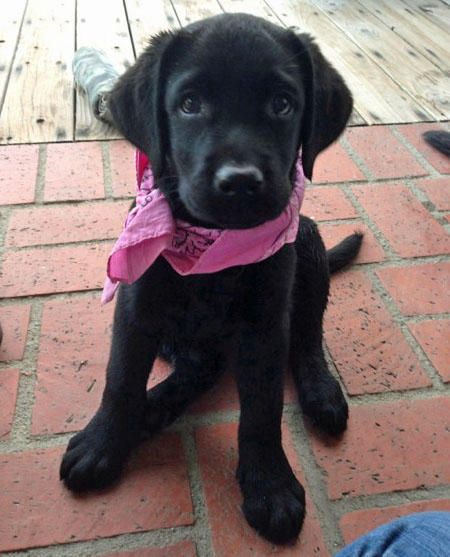 Olive the Labrador Retriever-This one is cute and even cuter with her bandana!