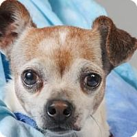 Pictures of Dudley a Chihuahua Mix for adoption in Colorado Springs, CO who needs a loving home.