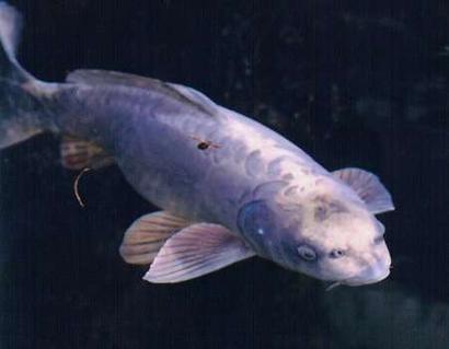 Carp Representative Species | 15 Best Koi Images On Pinterest Common Carp Pisces And Carp