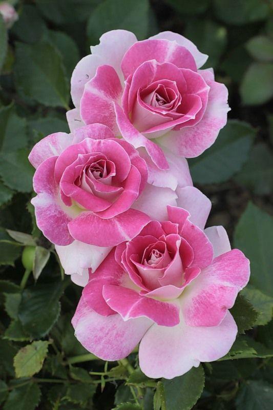 Regenberg Floribunda Rose