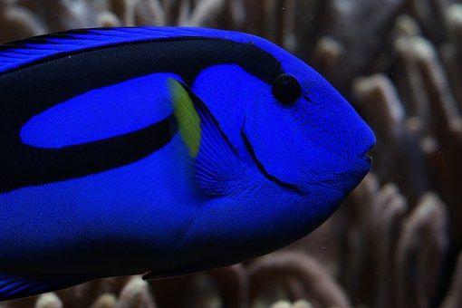 Παλέτα Surgeonfish, Doktorfisch