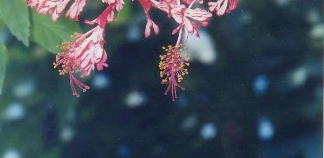 Hibiscus schizopetalus by golddog