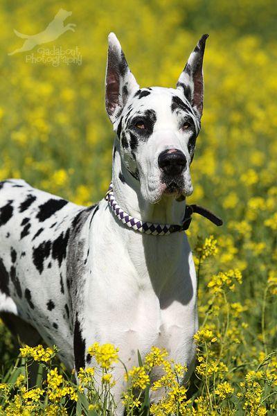 Great Dane ~ flower cow 3 by Gadabout-Photography.deviantart*