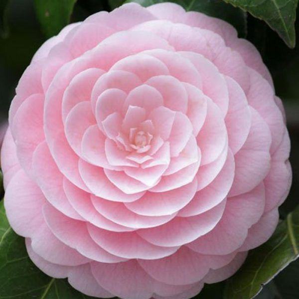 Camellia J Pink Perfection Camellia Flower Flowers Fragrant Flowers