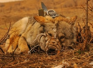 Petition. 2/27/2013. End Wolf Baiting in Kyrgyzstan  BY JENNIFER HARTMANN   Target:ThePrime Minister of Kyrgyzstan, Zhantoro Satybaldiyev  Goal: Outlaw the brutal torture and killing of wolves at hunting festivals.