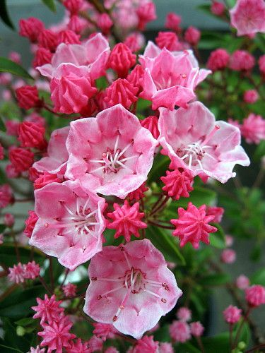 "Tiddlywinks Dwarf Mountain Laurel - Kalmia - Very Hardy - 2.5"""" Pot"